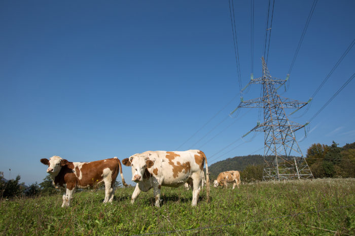 Agri-Waste Technology - Cows Grazing